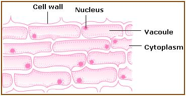 Structure and Function of Cells (Learn) : Biology : Class 8 ...