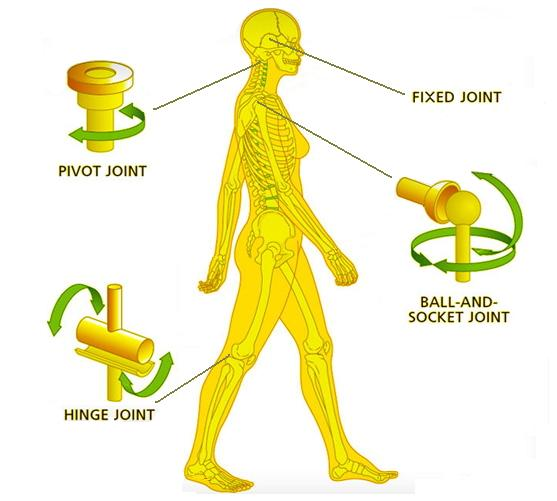 ball and socket joint. the rounded end of one bone fits into cavity (hollow space) other bone. such a joint allows movements in all directions. ball and socket