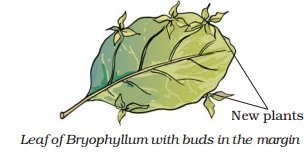Asexual reproduction in bryophyllum leaves images