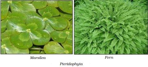 thallophytes plants