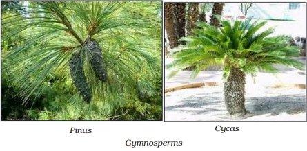 gymnosperms examples