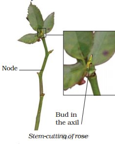 Asexual reproduction in bryophyllum leaves pictures