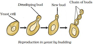 Does yeast reproduce asexually by budding flower